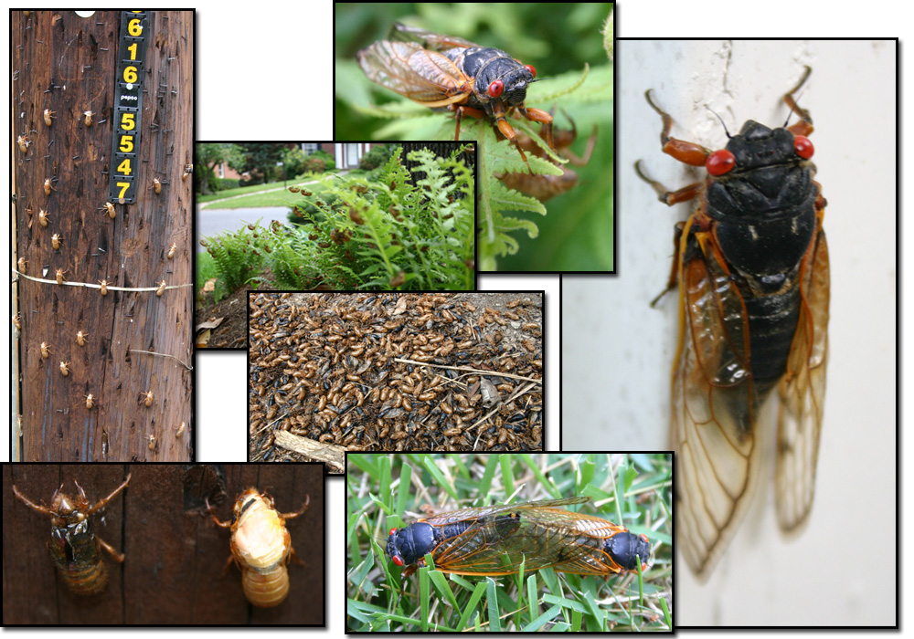 This was a special year for cicadas - the year where the 17 year brood came